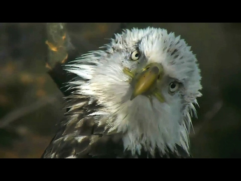 AEF-DC Eagle Cam ~ He's Baaack! ~ 02·02·17