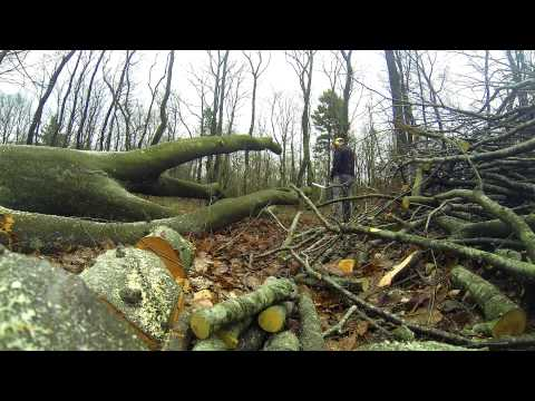 Big beech tree is cut down and turned into firewood