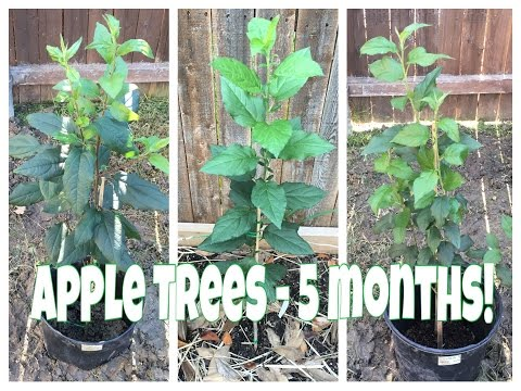 How To Grow An Apple Tree From Seed - 5 Months Old!
