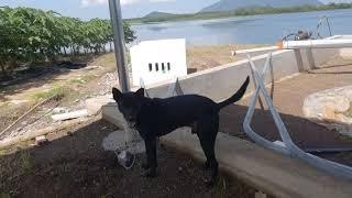 Bầy chó phú quốc đen 500 triệu không bán cực kỳ trung thành mà lại cực kỳ hung dữ đối với người lạ
