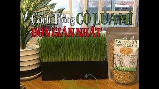 CÁCH TRỒNG CỎ LÚA MÌ ĐƠN GIẢN NHẤT - Easiest Way to Grow Wheatgrass in 7 Days