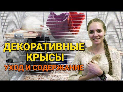 Декоративные крысы - уход и содержание | Как ухаживать за крысой?