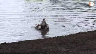 Repeat youtube video [HD] Hà Mã cứu Ngựa Vằn khỏi hàm Cá sấu