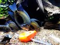 Uaru Cichlid - (Uaru amphiacanthoides) Poor Man's Discus - Wa Roo Cichlid