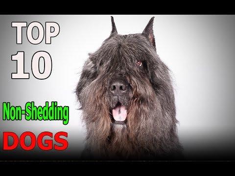 Top 10 Non-Shedding Dog Breeds | Top 10 animals