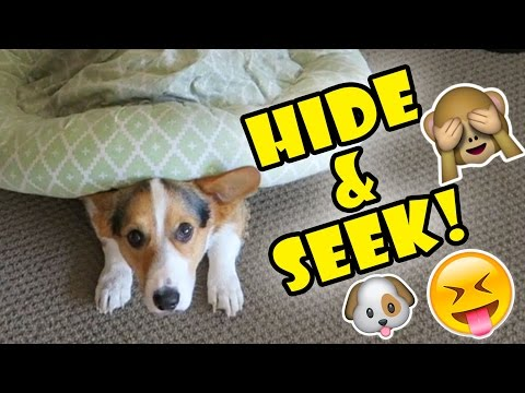CORGI DOG PLAYS HIDE AND SEEK WITH ME!