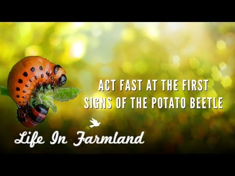 A Couple Organic Methods To Deal With Potato Bugs / Beetles