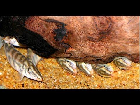Мой аквариум ч. 11 Как вырастить боцию мраморную в аквариуме с хищниками для борьбы с улитками