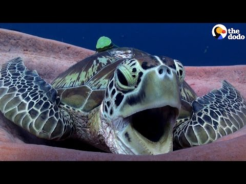 Sea Turtle Has The Cutest Yawn