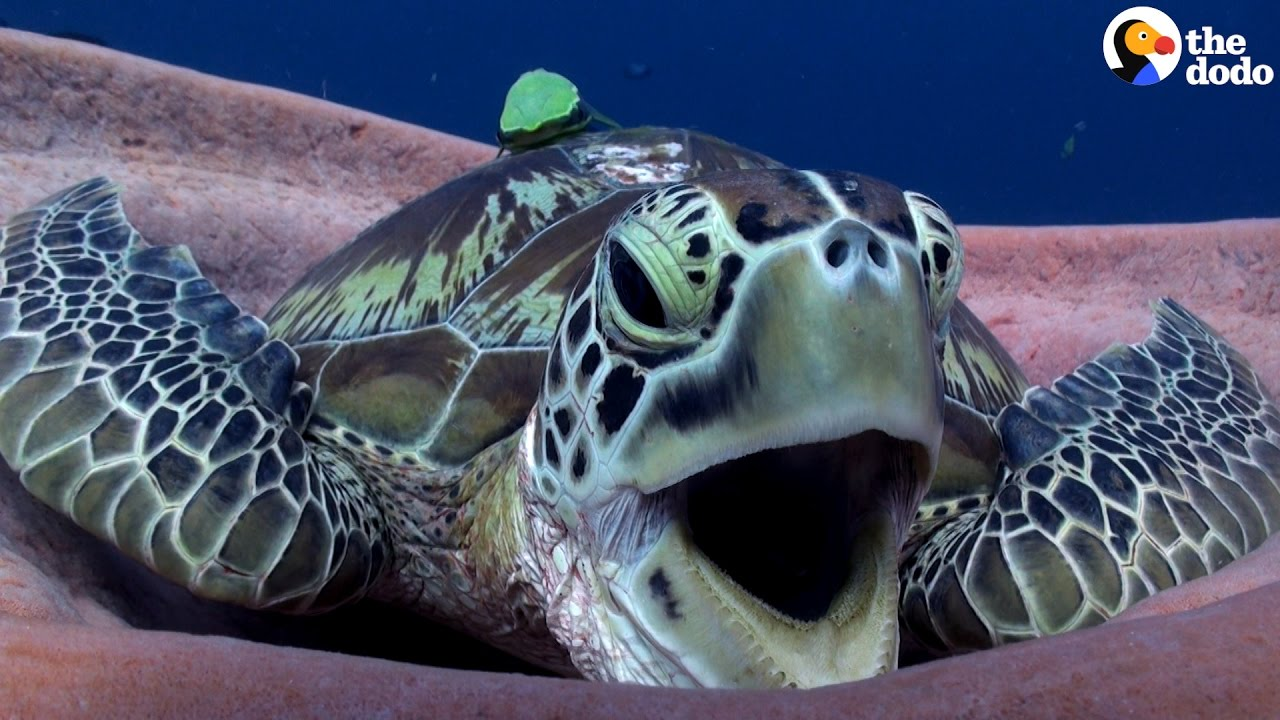 Sea Turtle Yawn Is The Cutest The Dodo Youtube