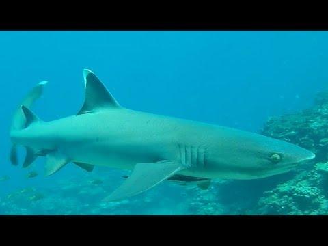 サメがいる海域で魚突きしたらやっぱり来た!【大島軍】
