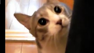 Funny Cat Videos, Funny Compilation 2015, Funny Stalking Cat, New Funny Video HD You Tube