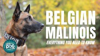 Belgian Malinois Dog Breed Guide | Dogs 101  Belgian Malinois