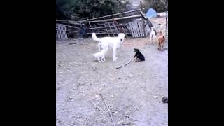 El perro salido