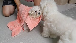 the mother maltese who hugs the little puppy after taking a bath.(Puppy's First Bath)