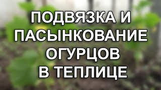видео Нюансы выращивания огурцов в теплице