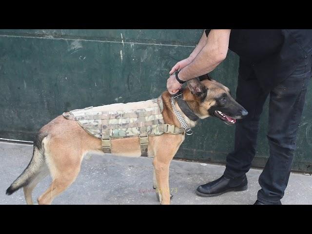 افخم تدريب الكلب على القبله ولبس الكمامه لوحده مع جمال العمواسي