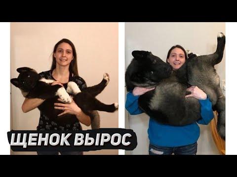 Щенок Американской Акиты похож на медведя