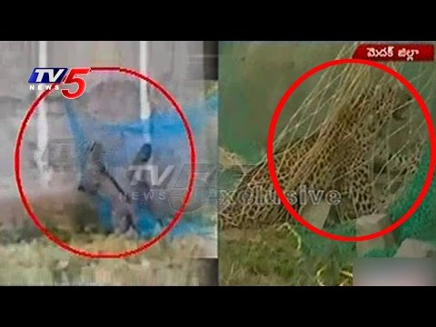 Forest Officers Catches Leopard | 9 Injured In Leopard Attack | Medak | TV5 News