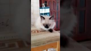 Голубо глазый сиамский кот