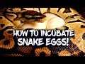 - How to incubate ball python eggs!
