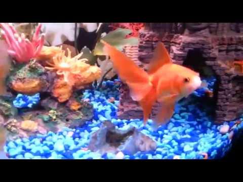 Oranda Power : What is the best temperature for goldfish?