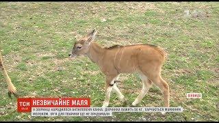 Рідкісна антилопа Канна народилася у Вінницькому зоопарку