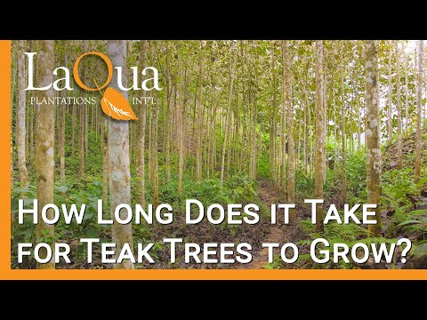 How Long Do Teak Trees Grow Before Harvest? - LaQua Plantations