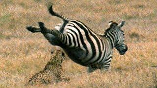 Young Cheetah narrowly escapes injury chasing prey | BBC Earth