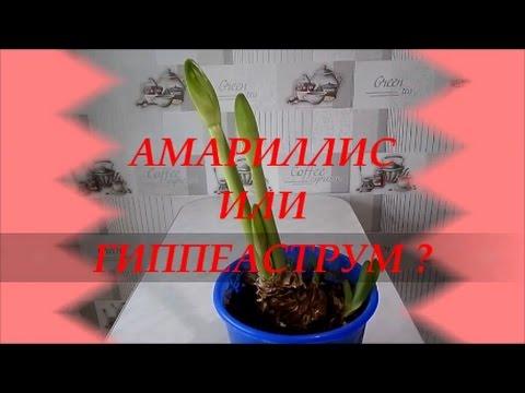 АМАРИЛЛИС ИЛИ ГИППЕАСТРУМ ?