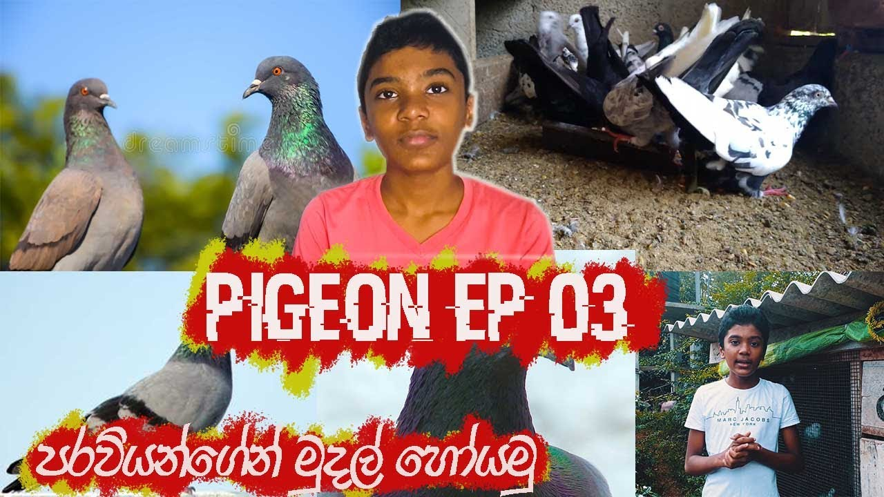 Download PIGEON EP 03/පරවින් ගෙන් මුදල් උපයමු