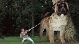 笑える - 面白 - トップ10の最大の犬の品種 笑える - 面白 - トップ10の...