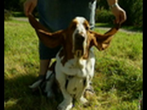 Dog Has World S Longest Ears Youtube