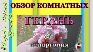 🌸🌸 563. Обзор комнатных цветов ГЕРАНЬ пеларгония. Как зимует и черенки 🌸🌸