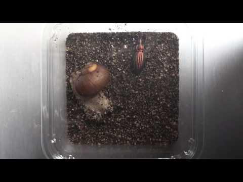 Defense behavior of the snail species Ezohelix gainesi