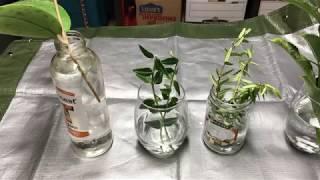 Water Rooting Hoyas