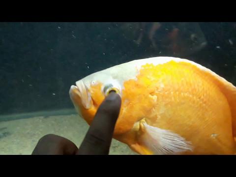 OSCAR FISH DISEASE : HOLES ON OSCAR'S HEAD