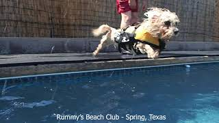 Dandie Dinmont Terrier Maggie & Portugese Water Dog Finn have a great pool day swimming in their dog
