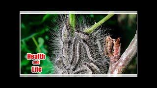 Toxic caterpillars causing asthma attacks, vomiting and skin rashes sweep UK