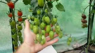 Pomidorowy TEST - Tunel vs Grunt vs Doniczki