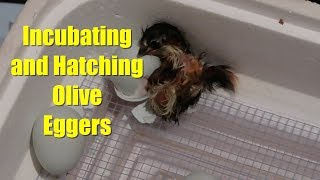 Incubating and Hatching Olive Eggers