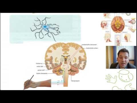 Kennisclip 3.5 Hersenen