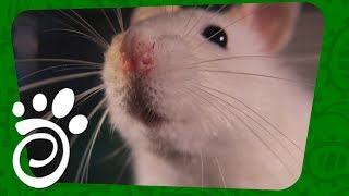 Интеллект Крыс. Все О Домашних Животных