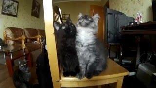 Коты продажные !  На продажу котята Мей-Куны!