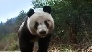 Giant panda bear does handstand! BBC wildlife