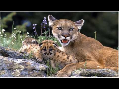 Cougar Sounds | Download Cougar Sound Effects