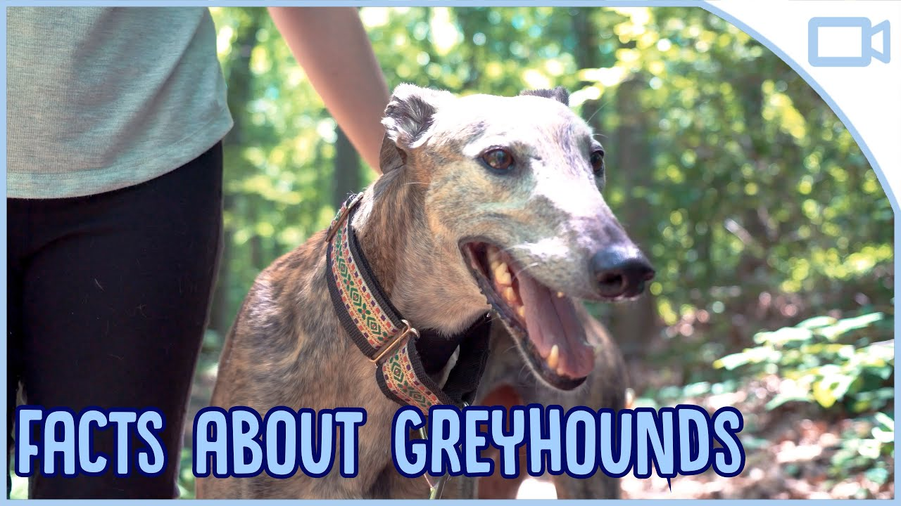Facts About Greyhounds You
