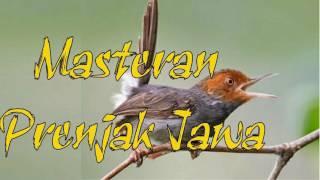 Gambar cover Download Suara Masteran Burung Prenjak Jawa