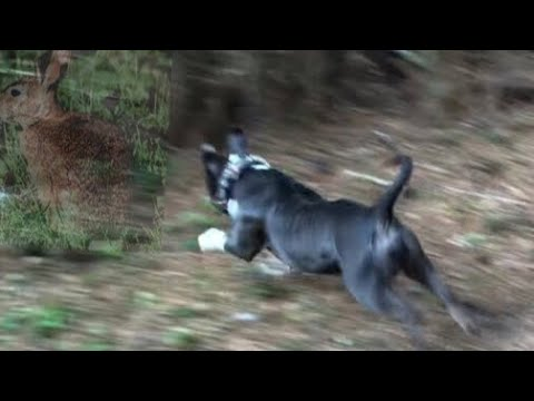 Pitbull  Hunting  Rabbits   #American Bully #hoghunting