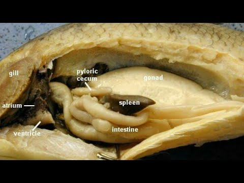 Dissection Of Fish 1 Advance Biology Practical Video 2020